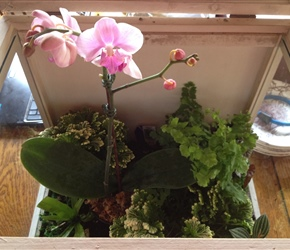 Phaleonopsis orchid, maidenhair fern and frosty fern displayed in Wardian Case