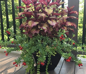Coleus, cuphea and creeping Jenny