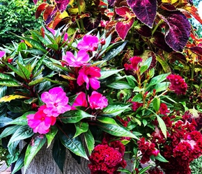 Coleus, New Guinea impatiens and celosia